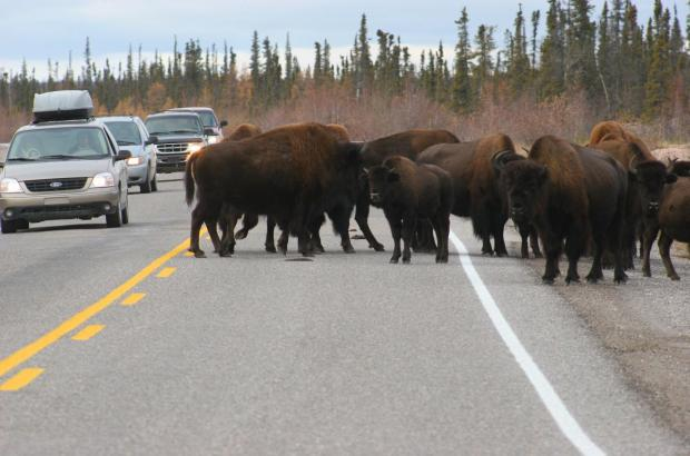 Wood Bison on Mackenzie Highway (NWT Highway 1)