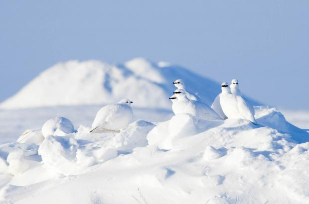 Ptarmigan in front of a Pingo, Beaufort Delta Region