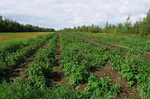 Potato Field, Norman Wells, Sahtu Region