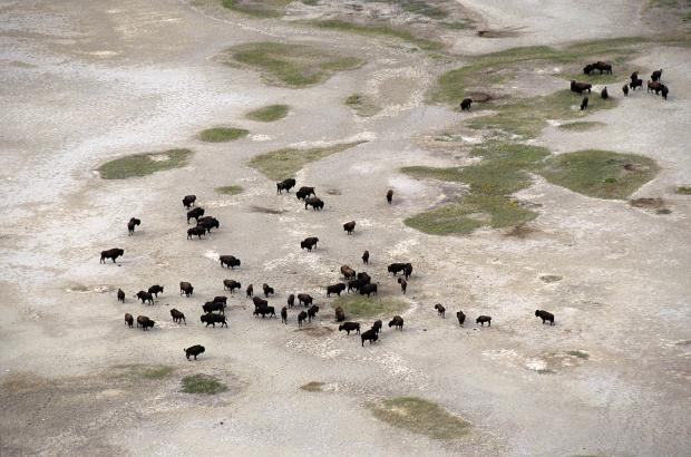 Bison on the Salt Plains, Wood Buffalo National Park, South Slave Region